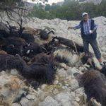 Sürüye yıldırım düştü, 31 keçi telef oldu