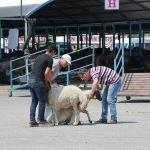 Denizli'de hayvan pazarlarında yoğunluk