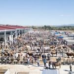 Bölgenin en büyük hayvan pazarı Çorum'da kuruldu