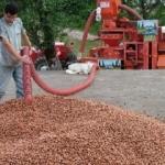 Fındık üreticileri harmanda