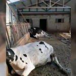Akıma kapılan inekler telef oldu!