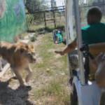 Aslan, safari turundaki turistlerin aracına girdi