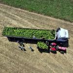 Muş'ta geç ekilen karpuzun hasadına başlandı