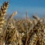 TMO'dan buğday açıklaması