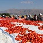 Elazığ'ın kurutulmuş domatesi Avrupa mutfağında