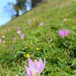Vargit çiçekleri Karadeniz yaylalarını süslüyor