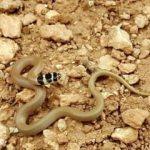Şanlıurfa'da Cüce yılanı görüldü