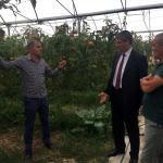 Suşehri'nde kapalı alanda domates hasadı sürüyor