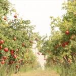 İhtiyaç sahiplerine belediye bahçesinden meyve