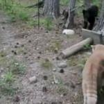 Kedi ve yavru ayıyla karşılaşınca...