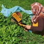 ÇAYKUR eylül ve ekim yaş çay bedellerini ödedi