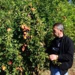 Bitlis'te mevsim koşulları nar üreticisini etkiledi