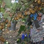 Yalova'da kivi hasadı başladı