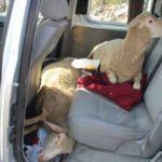 Arabada bu halde görenler şaşırıp kaldı...