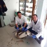 Manisa'da yaralı ak pelikan tedavi altına alındı