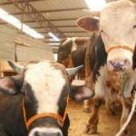 Genç çiftçilere 310 adet büyükbaş hayvan dağıtıldı