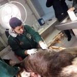 İtfaiyenin denizden kurtardığı geyik telef oldu