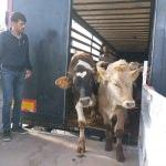 Genç çiftçilere 60 büyükbaş hayvan verildi