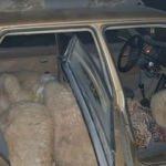 7 koyunla otomobilde yakalandı!