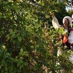 30 ülkenin vatandaşlarından renkli narenciye hasadı