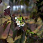 Mengen'de ağaçlar çiçek açtı