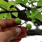 Muğla'da erik ağacı meyve verdi