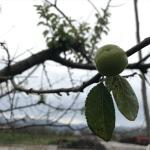 İznik'te erik ağaçları kış mevsiminde meyve verdi