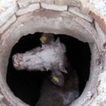 Kuyuya düşen inek köpek sayesinde kurtarıldı