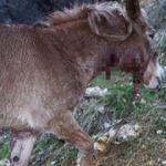 Köye inen kurtlar at ve eşeklere saldırdı