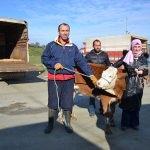 Genç çiftçilere damızlık düve dağıtıldı