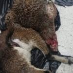 Dağ keçilerini vuran baba ile oğluna dudak uçuklatan ceza