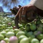ABD ve AB'nin zeytin kavgası