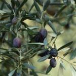 Sofralık zeytin ihracatı arttı