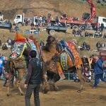 Ödemiş'te deve güreşleri yapıldı