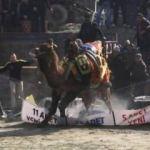 Güreşmek istemeyen deve ortalığı birbirine kattı