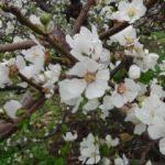 Mersin'de erik ağaçları çiçek açtı!