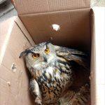 Yaralı kulaklı orman baykuşu koruma altına alındı