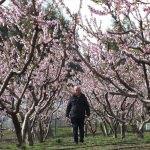 Mersin'deki meyve ağaçlarında renk cümbüşü