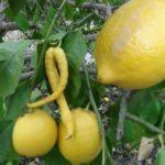Biber görünümlü limon!