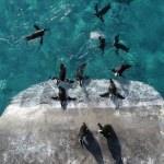 Bahar havasında penguenlerin beslenme keyfi