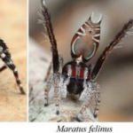 Avustralya'da üç yeni örümcek türü keşfedildi