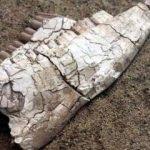 7,5 milyon yıllık fosiller sergileniyor