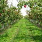 """""""Türkiye elma üretiminde dünyada üçüncü sırada"""""""