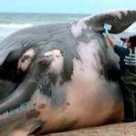 Ölü balinanın midesinden çıkanlar şoke etti