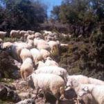 İzmir'de, 83 koyunluk sürü hırsızlığı
