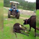 Ölen yavrusunu götüren traktörün peşinden kilometrelerce koştu
