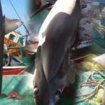 Balıkçıların ağına takıldı... Tam 6 metre!