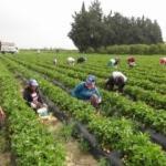 Çilek hasadı başladı: Rusya talebi arttırdı