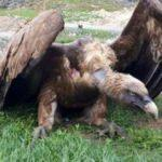 Yaralı halde bulunan kızıl akbaba tedaviye alındı