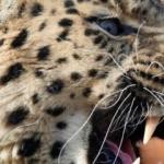 Ülkenin konuştuğu leopar öldürüldü